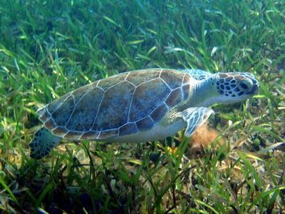 Turtle eating sea grass