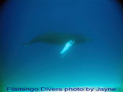 Magnificent creature..........Diving with a humbacked whale