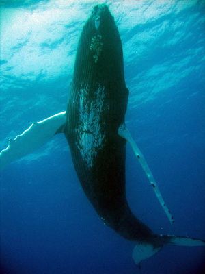 Humpbacked Whale has flippers that are heavily scalloped and that are often a third of its total body length.