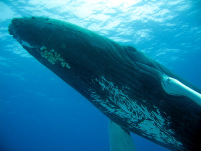 Impressive view of a Humpbacked Whale........head on down to the Turks and Caicos now and see them for yourselves