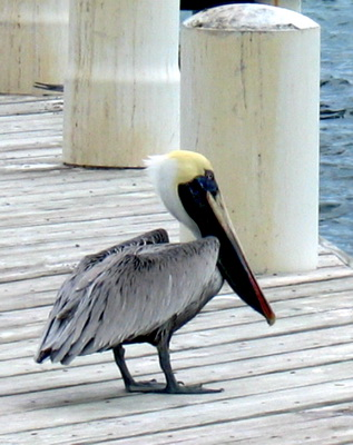 This pelican was not too worried as I took his photo.