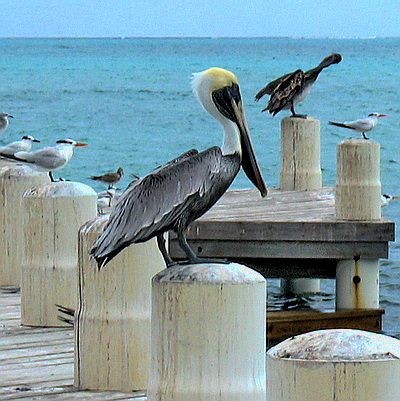 This handsome pelican was perched on one of the pillars on the pier at Blue Hills