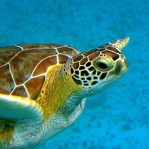 A close up view of a Green Turtle