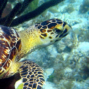 "The distinctive ""hawk"" like beak of the Hawksbill turtle"