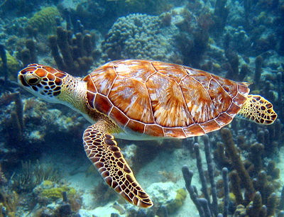Green turtles are often seen at the Bight Reef on Providenciales, Turks and Caicos