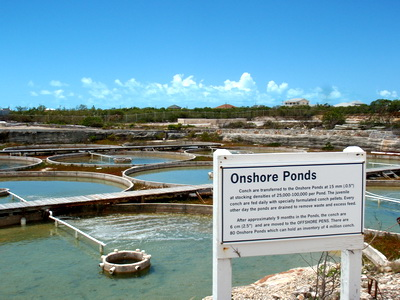 The onshore nursery ponds can hold up to 2,000,000 conchs!!!