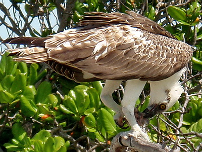 Ospreys will soar along the coast line as they search for ripples made by fish