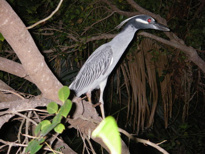 Night Heron on Providenciales, Turks and Caicos Islands