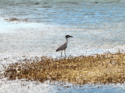 Close up of a night heron.............the tide was out and he was probably looking for crabs.