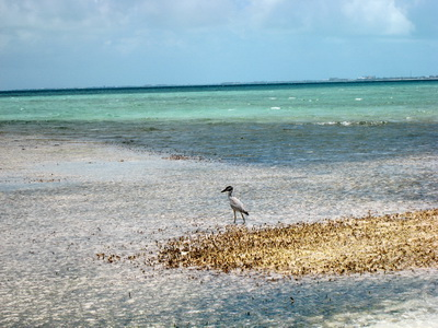 Low tide at Blue Hills shows a night heron searching for something to eat.
