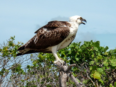 The osprey was a little agitated as I got closer and he didn't want to stop feeding on the fish