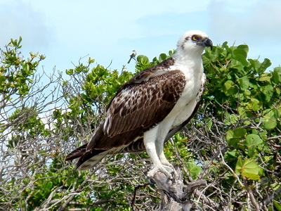 An osprey on our walk out along the beach to the North West Point