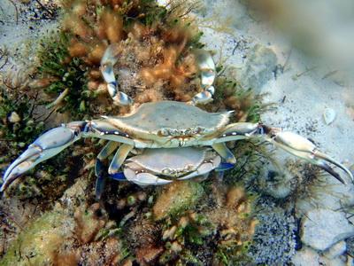 Blue crab sperm picture 983