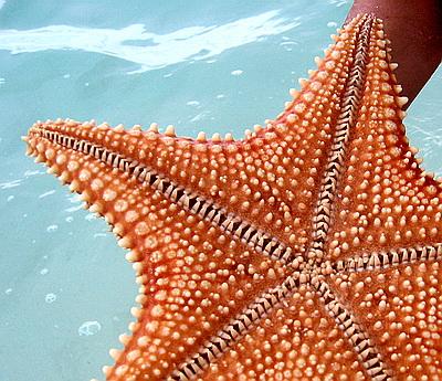 Tube like feet enable cushion stars to move along the sandy sea bottom