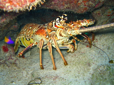 The Caribbean Spiny Lobster locally known as crawfish