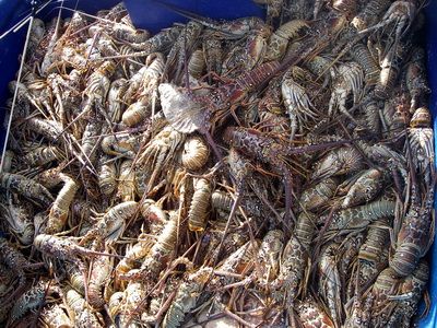 A boat load of lobsters destined for many of Provo's restaurants