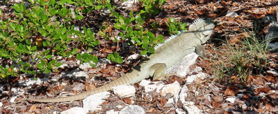 This rock iguana was very wary and was ready to take flight if I came any closer