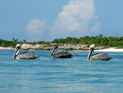 Three pelicans all in a row were feasting on a large school of little fish