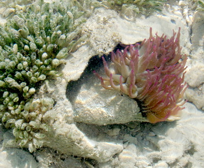 This beautiful pink tipped sea anemone looked like it was growing out of an old conch shell.