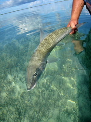 Joe releases a good sized bonefish one of many caught this day.