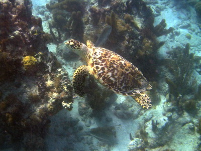 Mike snapped this photo of a Hawksbill Turtle at the Bight Reef