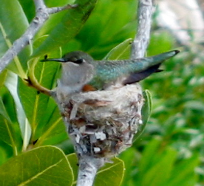A humming bird sits on her small nest built on a forked branch.