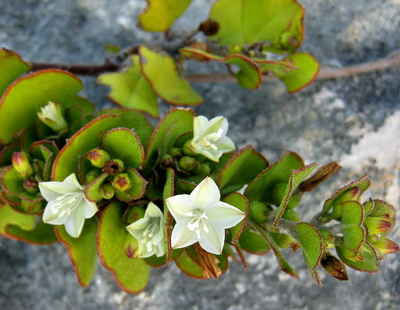 This beautiful ground cover with little white flowers was growing out of a small pocket of dirt in the rocks