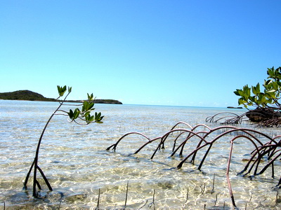 Mangroves help prevent erosion by stabilizing sediments with their tangled root systems