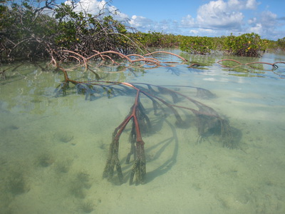 Mangrove roots extending out under the water