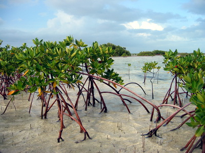 Mangroves are important breeding and nursery grounds for a variety of marine animals.
