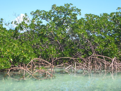 Mangroves can grow densley providing shelter and nurseries for bonefish