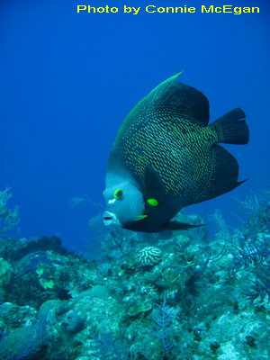 The French Angelfish has a light blue face, gray/white mouth, and yellow highlights on its eyes, gill plates, and fins.