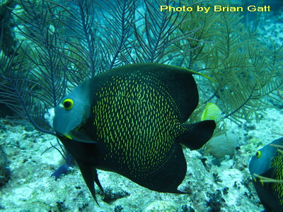 The French Angelfish.....it's scales have bright yellow edges, making a vibrant pattern against its dark blue body.