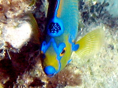 Queen Angelfish have a speckled, blue ringed spot that loks like a crown