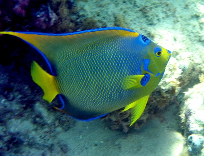 The Queen Angelfish is one of the most beautiful and colourful fish found in the warm waters of the Turks and Caicos Islands