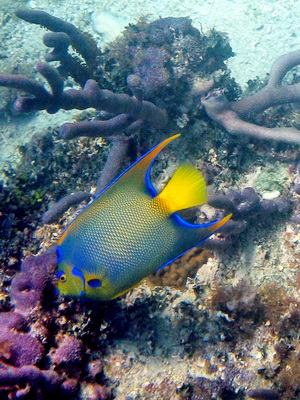 This shy fish feeds on the sponges, algae and soft corals of the reef.