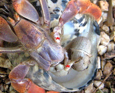 Another view of the additional much smaller legs as the Hermit Crab moves into his new shell home.