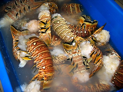 August 1 is the opening day of lobster season in the Turks and Caicos Islands.