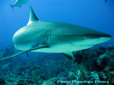 Reef sharks were sighted all week on the many dives led by Flamingo Divers
