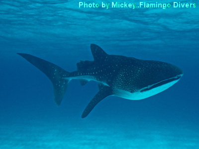 Wow.........what a sight! A whaleshark in the Sandbore Channel.