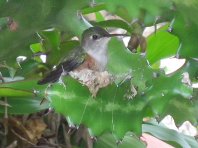 The Mama hummingbird trying her nest on for size!