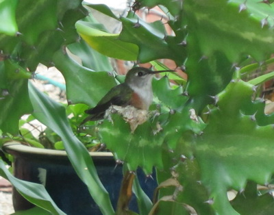 Bahama Woodstar hummingbird forming her nest with her body as she builds it in a tall cactus tree beside our cabin.