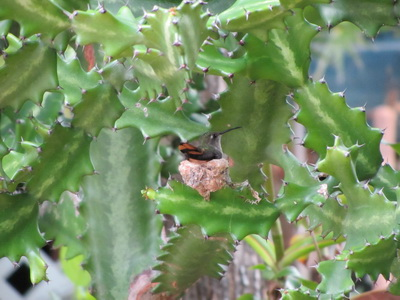 Clever little bird, she camouflaged her nest well and built it into a cactus branch