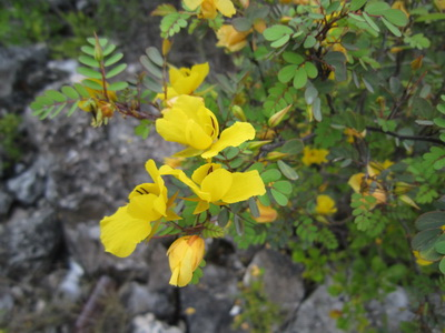 The bright yellow flowers of the Wild Senna bush were a stand outfrom amongst the greenery.