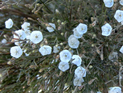 You may have noticed a dried twig like low bush........what a transformation as the rains bring out a mass of delicate white flowers.