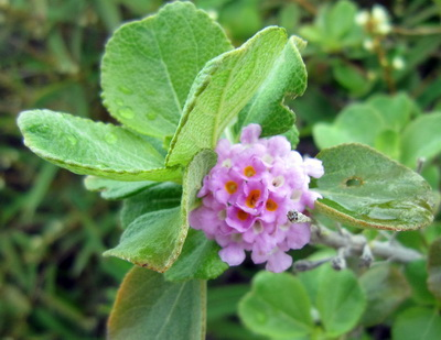 Pinkish Sea Sage with a yellow eye at the centre is a favourite attracting butterflies and hummingbirds.