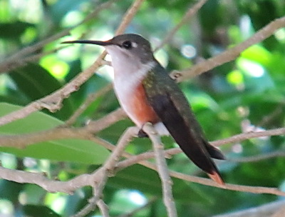The Mama Bahama woodstar humming bird watches me from a nearby branch
