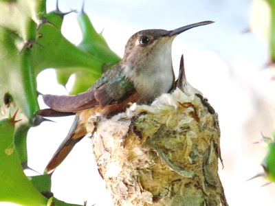 The mother will feed the nestlings on small insects and nectar by inserting her bill into the open mouth of a nestling and regurgitating the food.