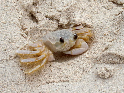 sand bubbler crabs