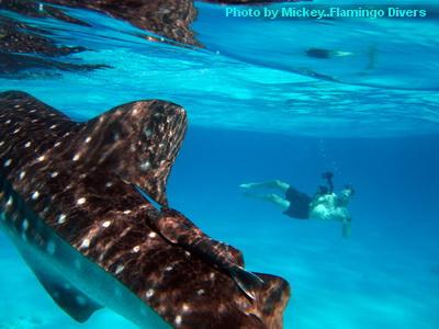 blogscubawhale shark